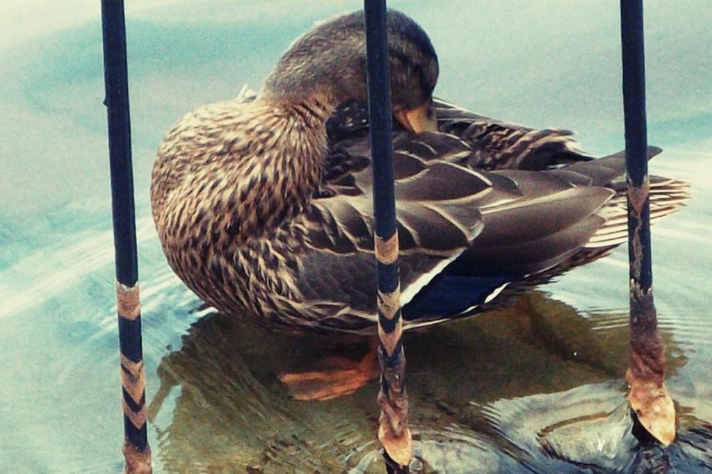 Утки на озере в Гусь-Хрустальном 05