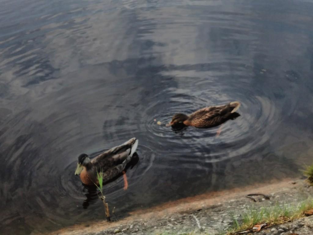 Утки на озере в Гусь-Хрустальном 07