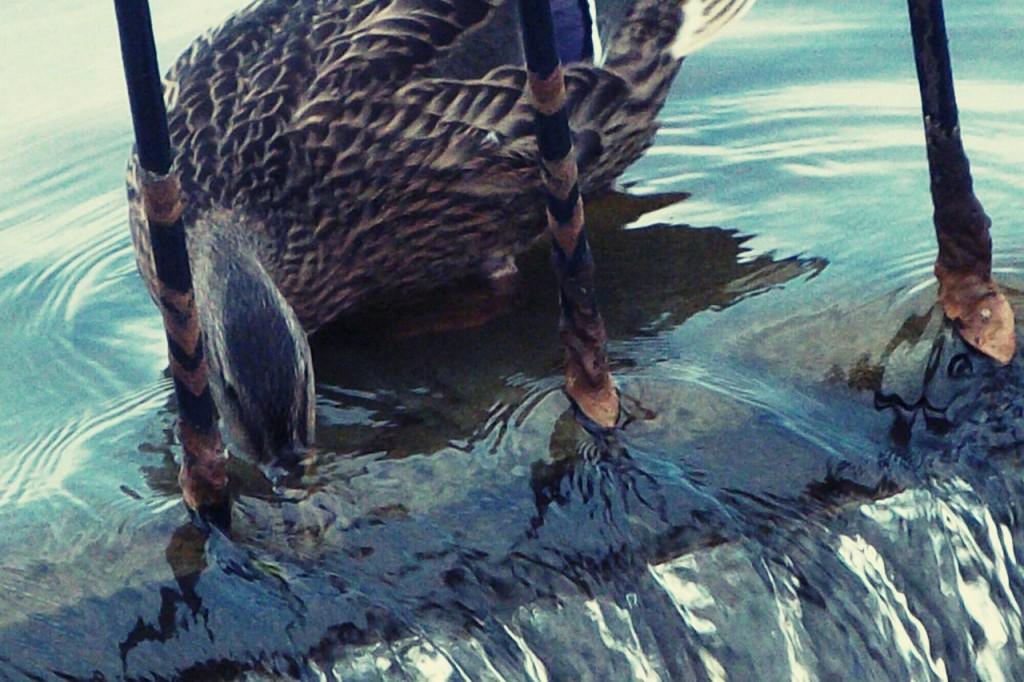 Утки на озере в Гусь-Хрустальном 09