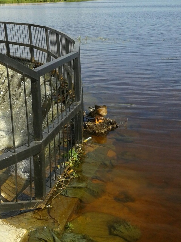 Утки на озере в Гусь-Хрустальном 10