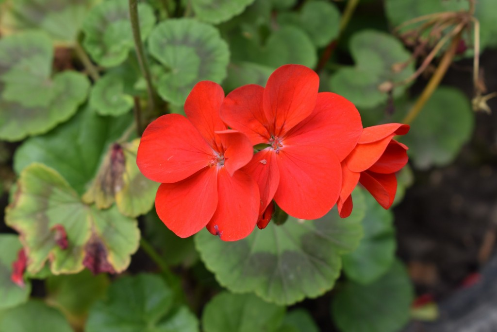 Цветы, выращенные заботливыми руками владимирцев, ещё радуют нас 07