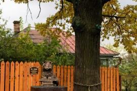Трёхсотлетний дуб-старожил и кот ученый