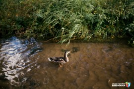 Утки на реке Волшник, Вязники