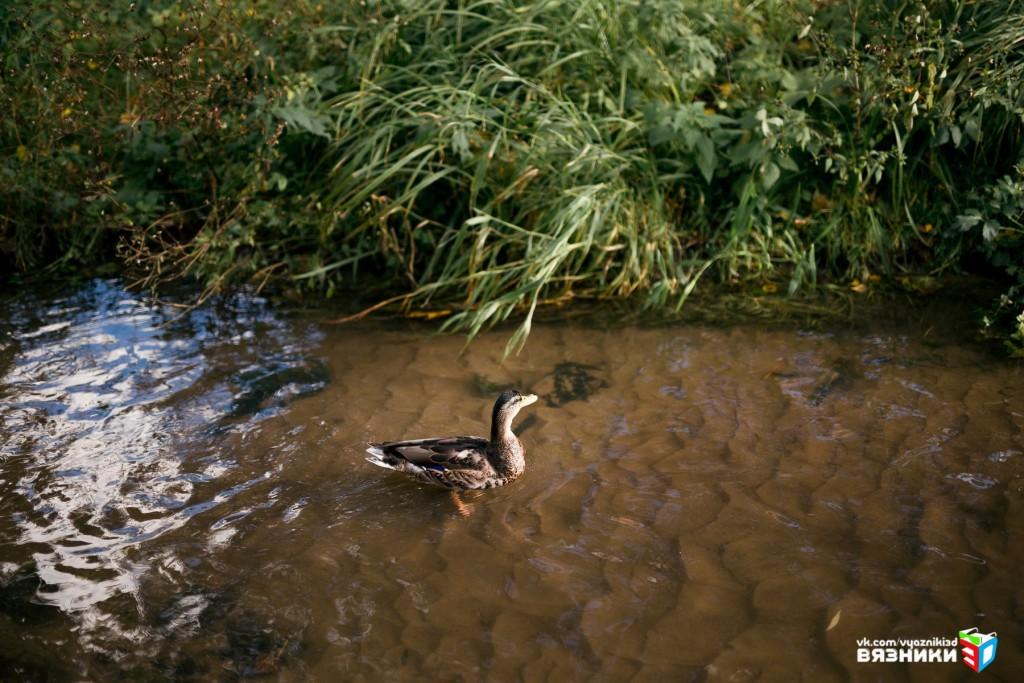 Утки на реке Волшник, Вязники 01
