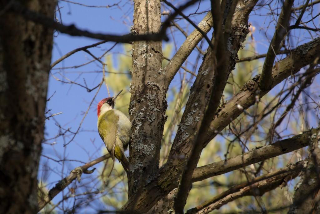 Зелёный дятел, довольно редкая птица, посетивший покровский лес (2015 г.) 01