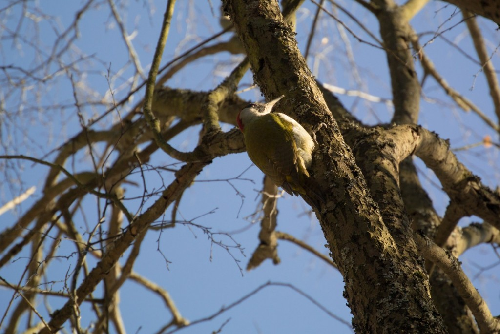 Зелёный дятел, довольно редкая птица, посетивший покровский лес (2015 г.) 02