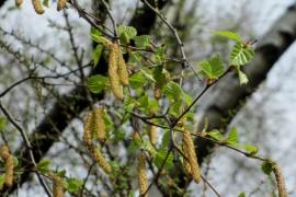 Цветущая береза во Владимирской области