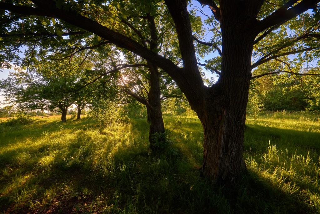 В вечернем свете... ( Владимир, загородный парк, июнь 2018 ) 01