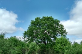 Деревенский дуб. Деревня Шушерино, ковровского района