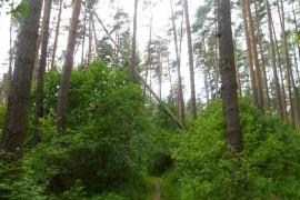 Последствия шквала 30 мая Владимирская область в лесном массиве около г.Судогда микрорайон Посадка.