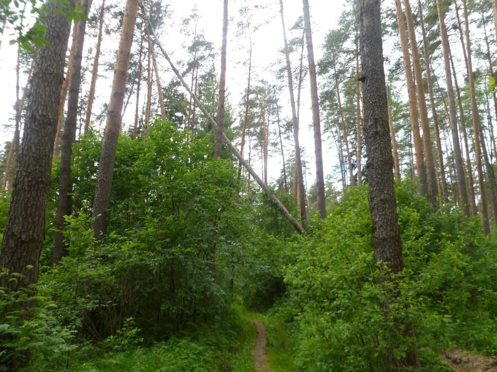 Последствия шквала 30 мая Владимирская область в лесном массиве около г.Судогда микрорайон Посадка. 01