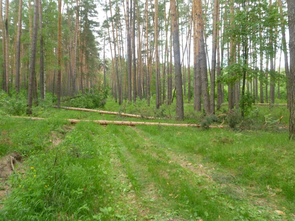Последствия шквала 30 мая Владимирская область в лесном массиве около г.Судогда микрорайон Посадка. 03