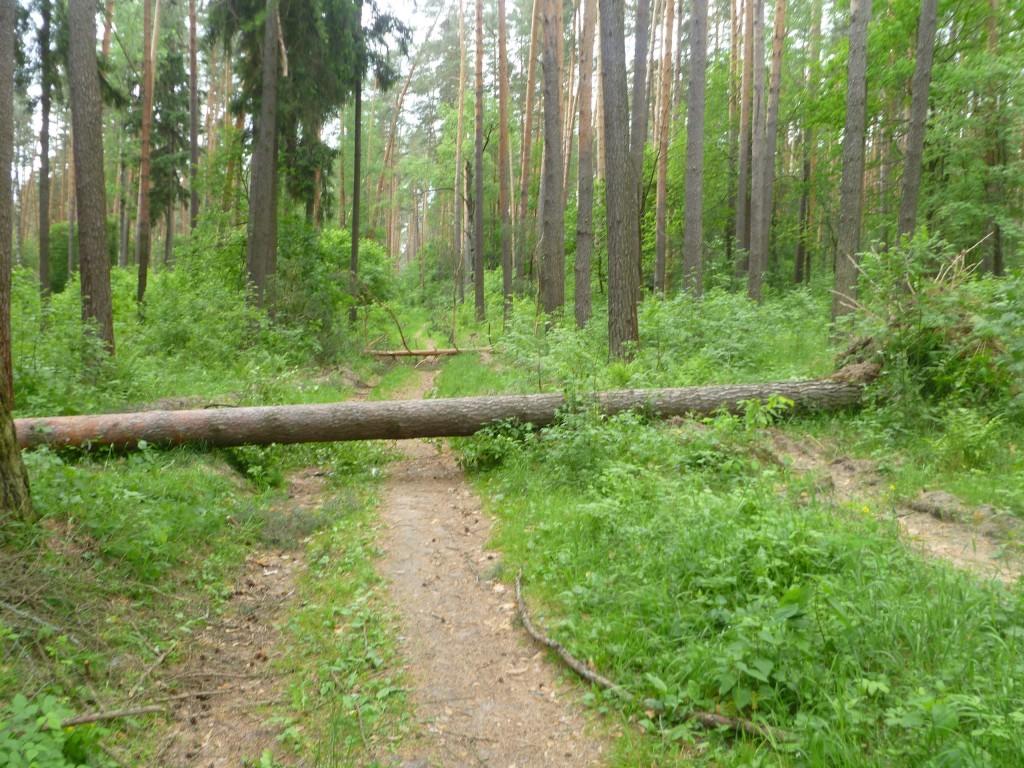 Последствия шквала 30 мая Владимирская область в лесном массиве около г.Судогда микрорайон Посадка. 04