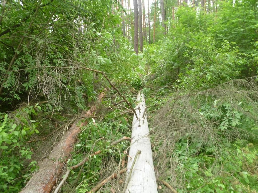 Последствия шквала 30 мая Владимирская область в лесном массиве около г.Судогда микрорайон Посадка. 05