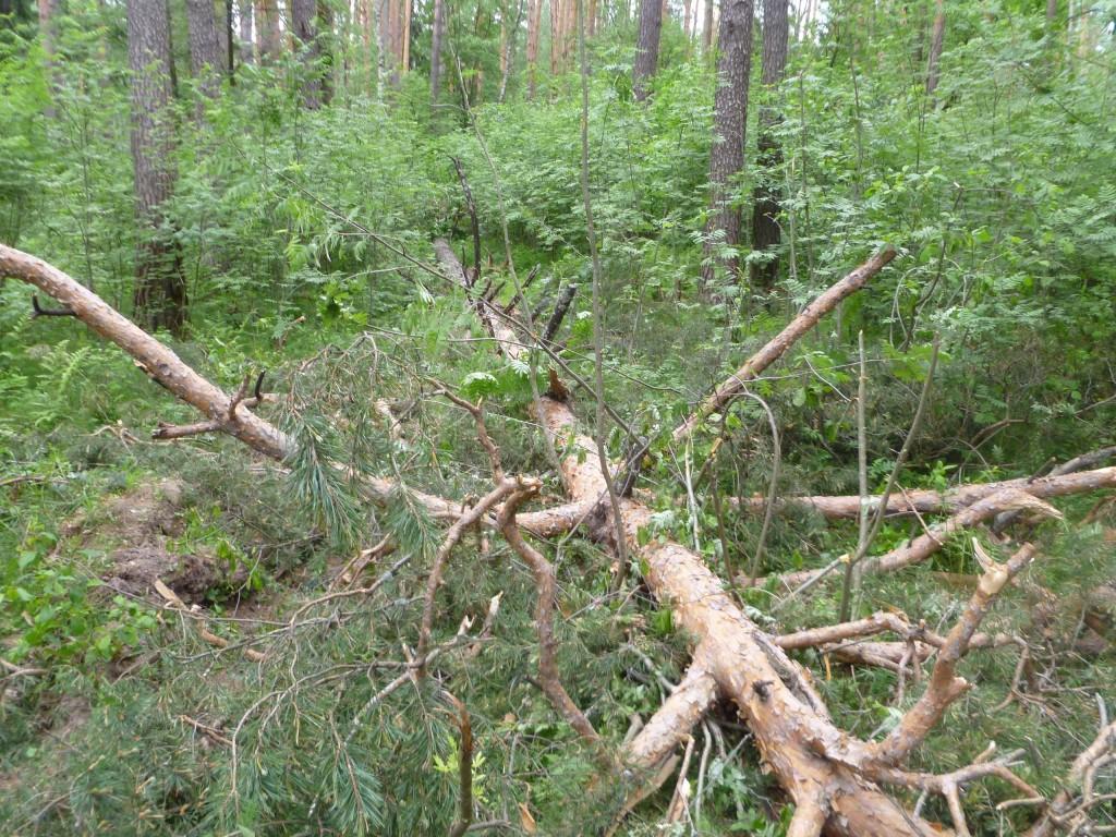 Последствия шквала 30 мая Владимирская область в лесном массиве около г.Судогда микрорайон Посадка. 06