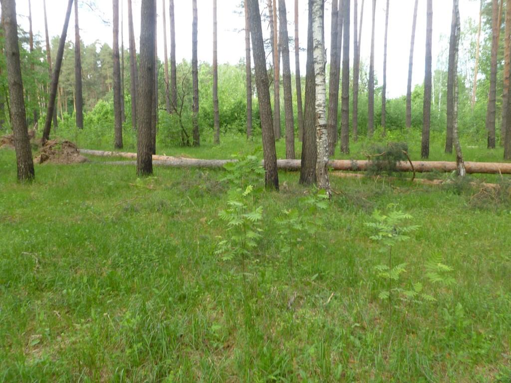 Последствия шквала 30 мая Владимирская область в лесном массиве около г.Судогда микрорайон Посадка. 07