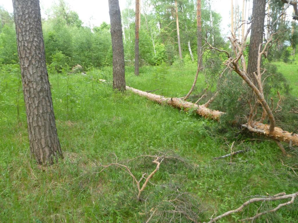 Последствия шквала 30 мая Владимирская область в лесном массиве около г.Судогда микрорайон Посадка. 08
