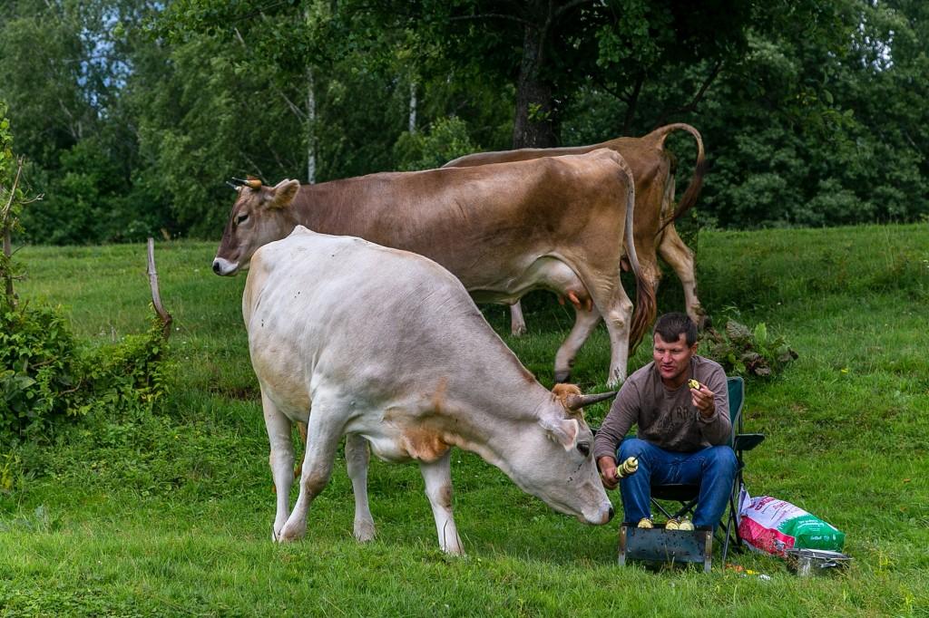 Коровы в Спас-Купалище 01