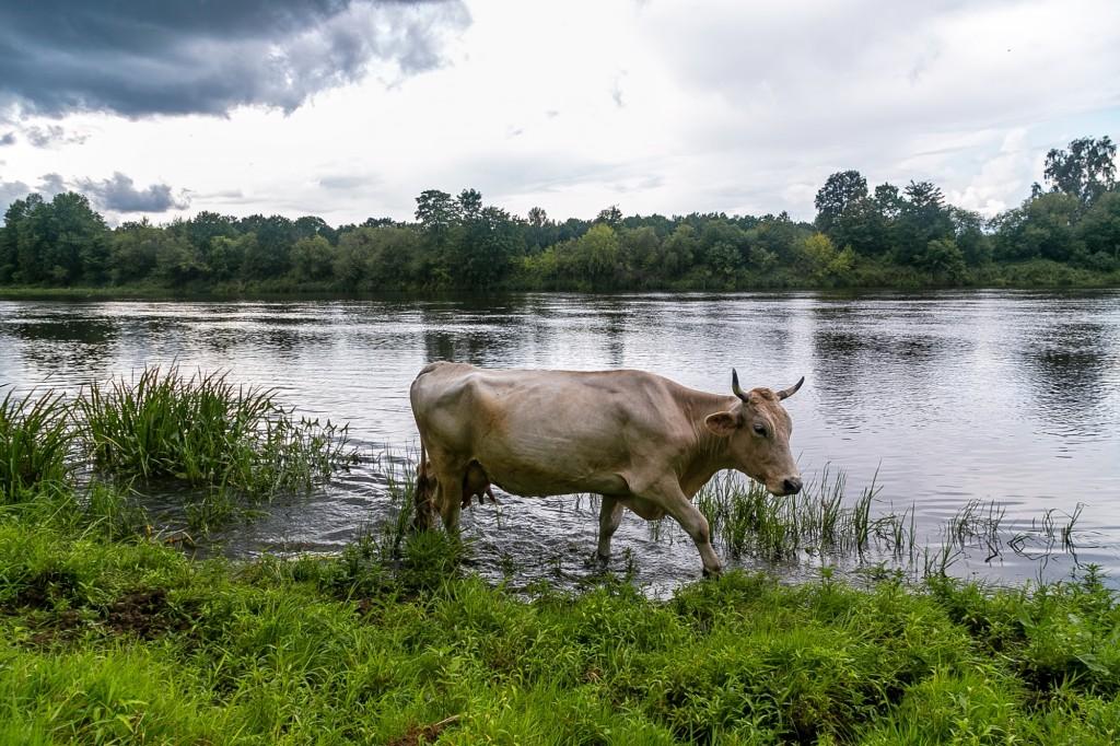 Коровы в Спас-Купалище 02