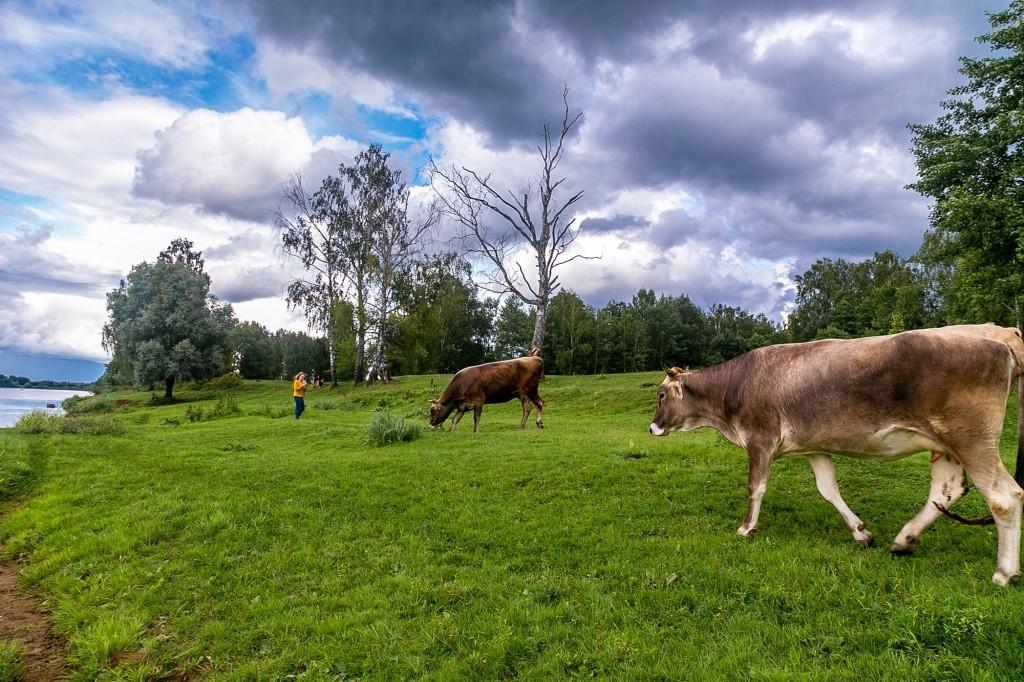 Коровы в Спас-Купалище 03