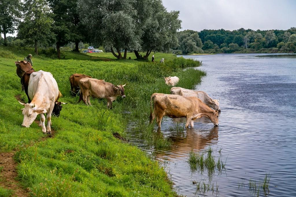 Коровы в Спас-Купалище 07