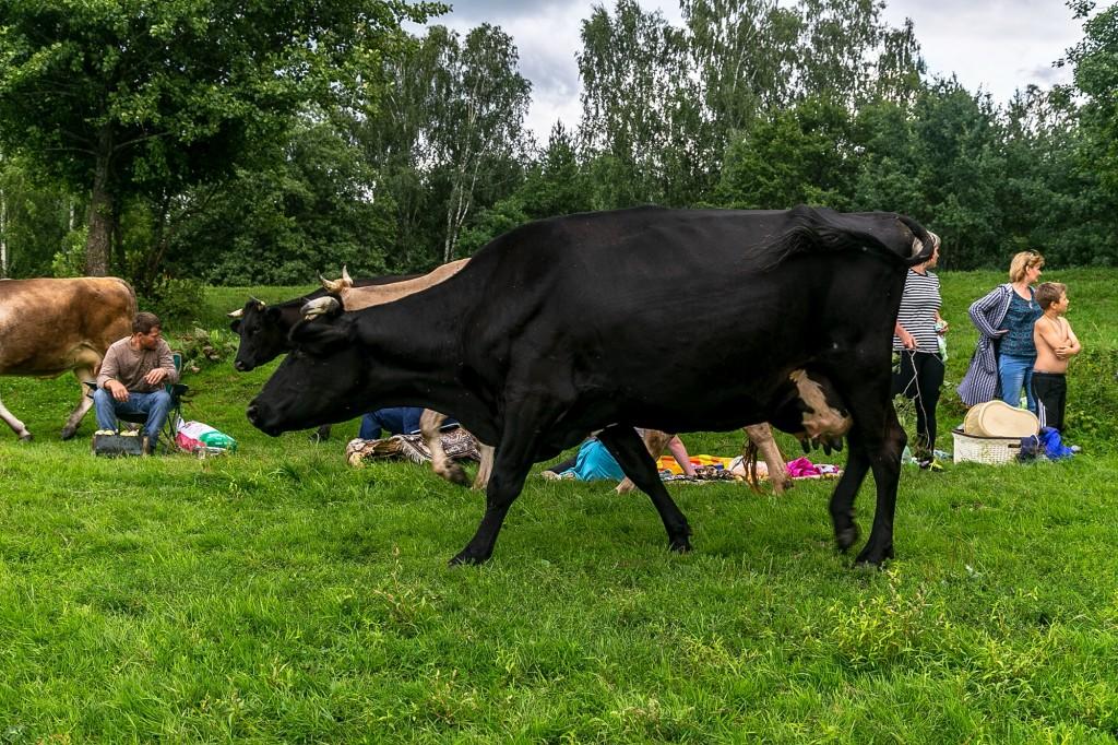 Коровы в Спас-Купалище 09