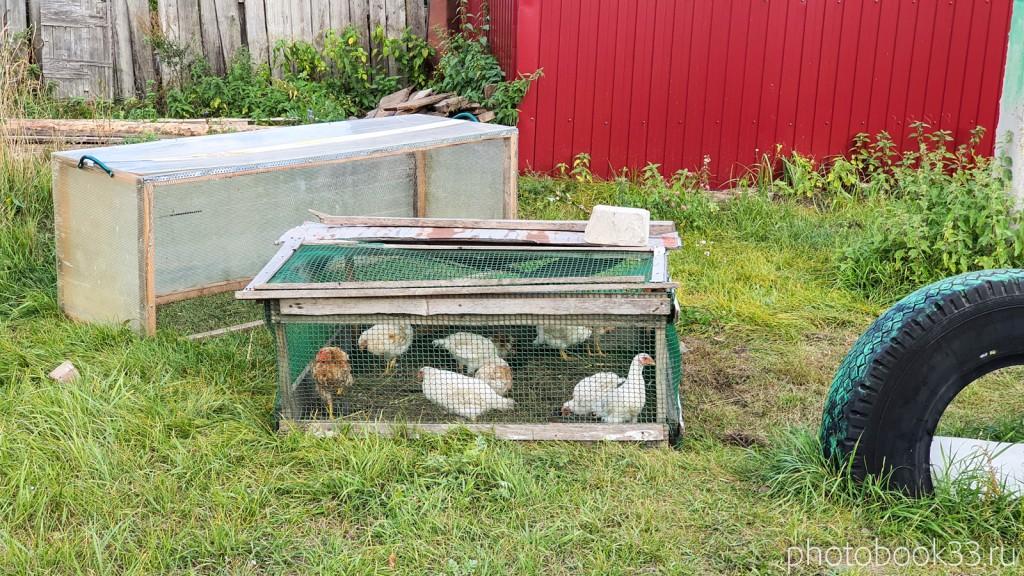 26 Цыплята в селе Лазарево Муромского района