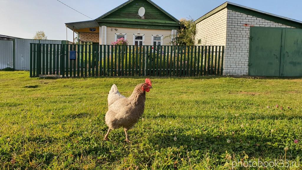 25 Курица из села Стригино, Муромский район