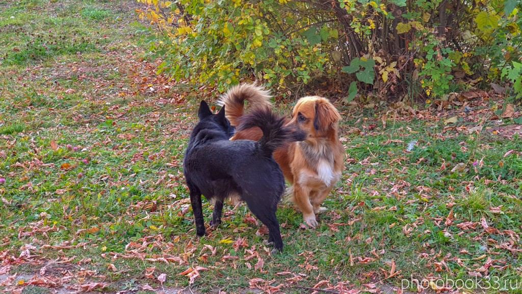 61 Встреча двух собак в д. Левино, Владимирская область