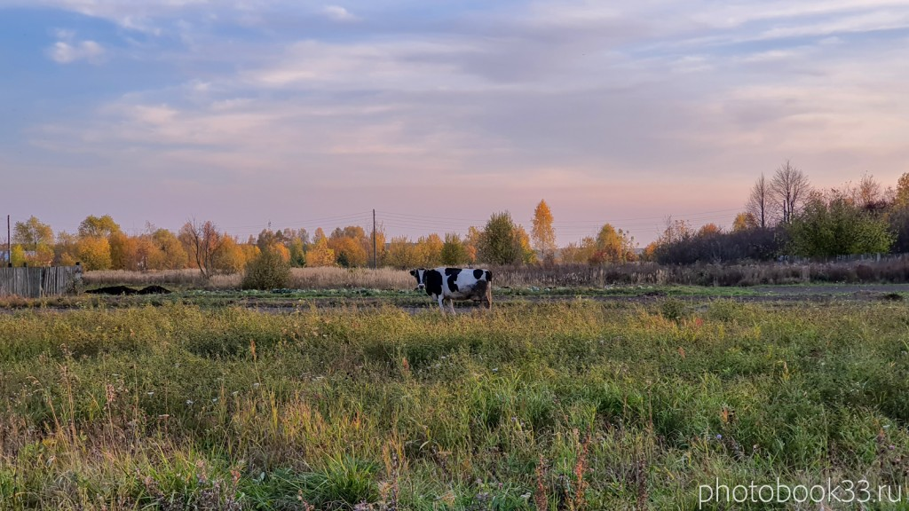 96 Корова в д. Левино, Владимирская область